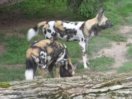 African Wild Dog Pictures 1549