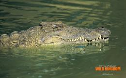 1920x1200 Alligators desktop PC and Mac wallpaper 1531