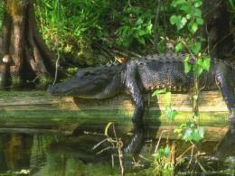 Alligator Desktop Wallpapers 1145