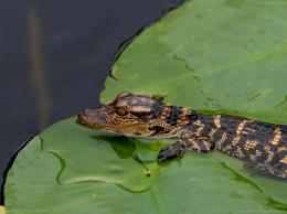 travel,water,world,Small,alligator,HD Wallpapers,Widescreen Wallpapers 306