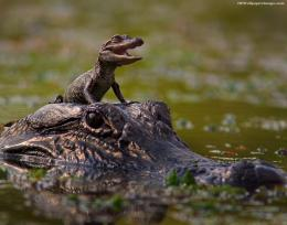 Alligator With Baby Alligator Images, Pictures, Photos, HD Wallpapers 1087