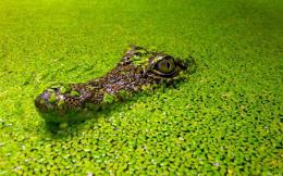 Alligator Desktop Wallpapers 1157