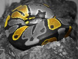 Ball Python wallpapers in high resolution belowFind awesome ball 1830