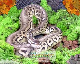 Moss Series WallpaperBall Python Pewter Morph 1441