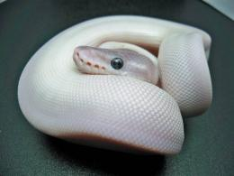 beautiful ball python animal wide hd wallpaper download ball python 420