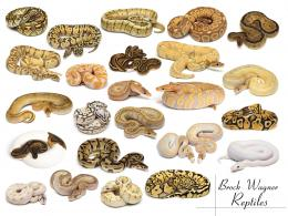 Brock Wagner Reptiles | Captive Bred Ball Python Morphs 1817