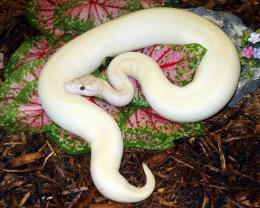 Phyton Ivory Ball Python Desktop Wallpaper with 1280x1024 Resolution 692