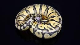 Ball Python Wallpapers 1762