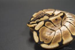 My 2010 Spider Ball Python by SDReptiles 1086