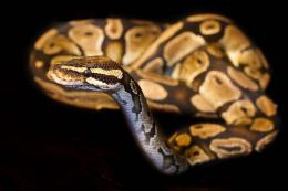HD wallpaper of ball python snake 1069