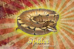 Burst Series WallpaperBall Python Spider Morph 709