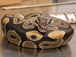 Ball Python!, Ball pythons are generally considered the easiest snakes 1259