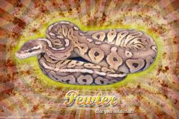 Burst Series WallpaperBall Python Pewter Morph 1252