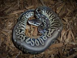 images of snakes and more photo of pewter ball python wallpaper 879