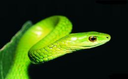 Ball Python Wallpapers 960