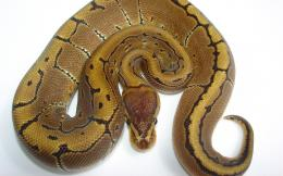 AnimalPinstripe Ball Python Snake Python Animal Wallpaper 1335