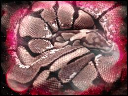 Bp reptile ball python snake animals 143