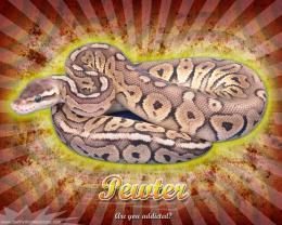 Burst Series WallpaperBall Python Pewter Morph 451