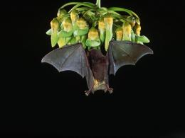 Fruit Bat Wallpaper 12820 Hd Wallpapers 1704