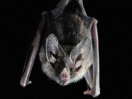 Vampire Bat Wallpaper 11966 Hd Wallpapers 605