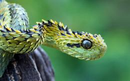 Bush viper snake Wallpapers Pictures Photos Images 172