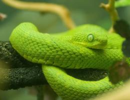african bush viper high resolution wallpaper download bush viper imges 1028