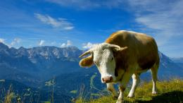 1366x768 Cow desktop PC and Mac wallpaper 1592