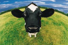 : cow wallpaper, download Cows close up, wallpapers for desktop 522