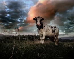 cow animal hd wallpapers cool desktop images widescreen cow animal hd 133