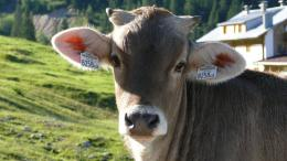 cow animal hd wallpapers cool desktop pictures widescreen cow animal 163