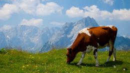 cow animal hd wallpapers cool desktop backgrounds widescreen 684