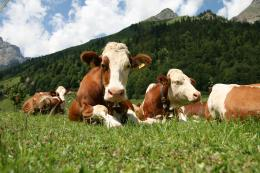Nature Cow Cows Animal Farm Animals Zoo Funny Desktop Wallpaper 484