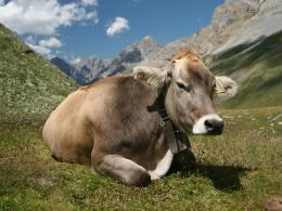 Cow Wallpapers 1302