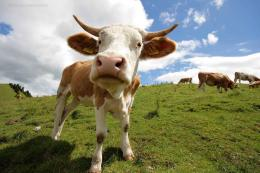 Cow Wallpapers hd 1921