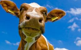 wallpaper you are viewing the other wallpaper named cow head it has 1491