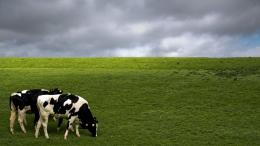 cow animal high definition wallpapers cool desktop widescreen photos 1616