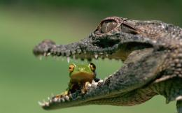 Crocodile and frog wallpaper 1138