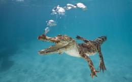 wallpaper of a crocodile swimming underwater hd crocodiles wallpapers 956