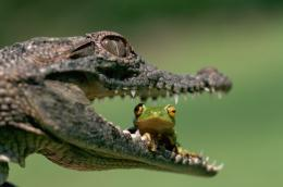 Crocodile, Frog wallpapers 557