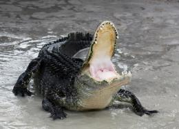 american alligator black crocodile hd wallpapers high defination 1182