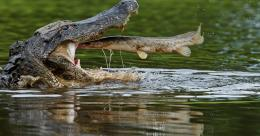 alligator hd wallpaper 2013 alligator hd wallpaper 2013 alligator hd 1655