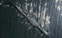 crocodile hd wallpapers cool desktop images widescreen crocodile hd 614