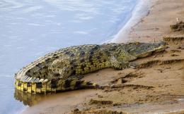 Crocodiles!Crocodiles differ from alligators because crocodiles have 1638