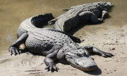 alligator hd wallpaper album name crocodiles description alligator hd 1136