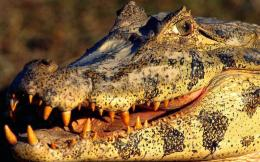 wallpapers crocodile wallpapers crocodile hd wallpapers crocodile hd 1790