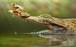 Crocodile with a frog on his snout | HD crocodile wallpapers 1101
