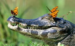 Funny wallpaper of a crocodile with butterflies on his head 327