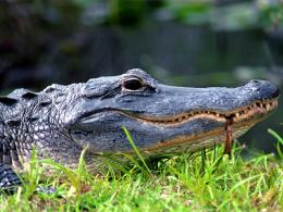 Crocodile HD Wallpapers 683