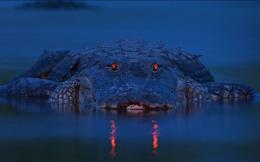 Alligator HD Wallpaper 595