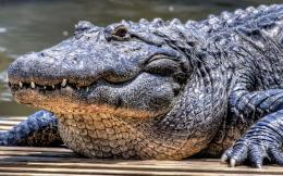 Wallpaper of a very large crocodile 1360